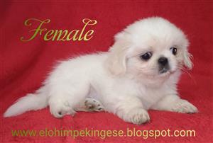Pekingese pups