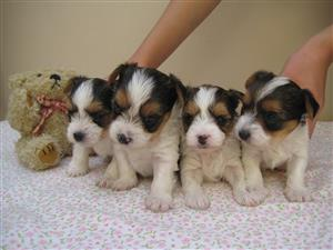 Biewer Yorkie Puppies for sale
