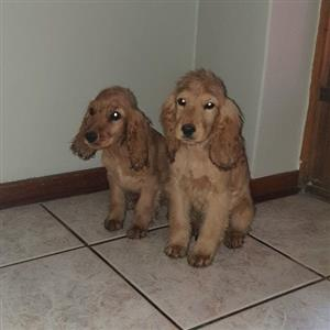 golden spaniel puppies for sale