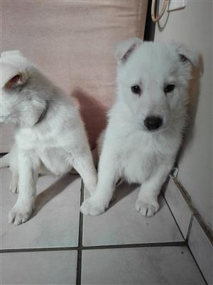White (Swiss) German Shepherd puppies for sale