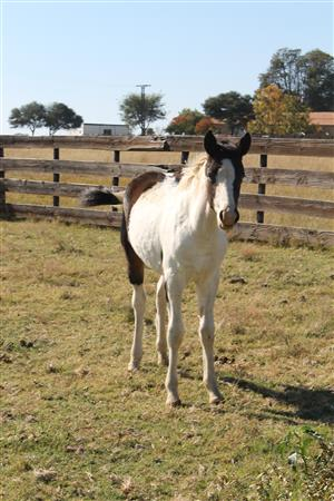 Elvira Filly