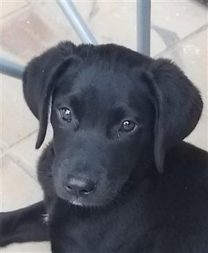 Pedigree Labrador retriever
