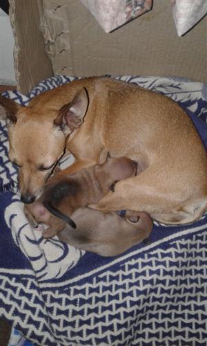 Miniature Doberman pincher puppies