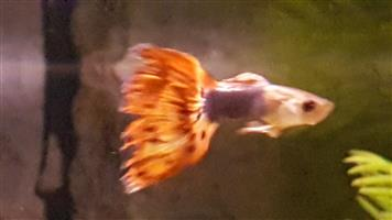 Show Guppy's for sale