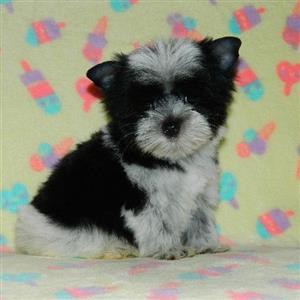 Biewer Terrier female puppy
