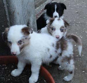 Border collie red merle and black and white