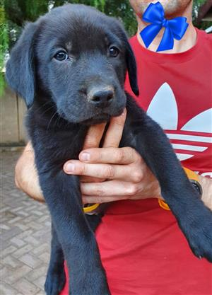 8 week old Labrador Pups for sale already vaccinated and dewormed