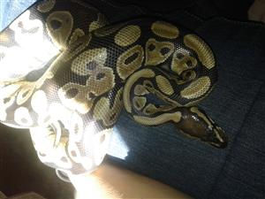 ball python in Pets in South Africa | Junk Mail