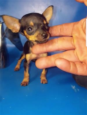 Miniature Doberman Pincher Bokkie Teacup Puppies