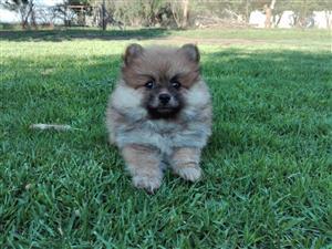 Pomeranian (Toypom) female