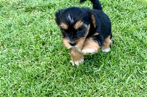 Yorkie Traditional Female