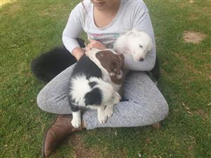 border collie For Sale in Dogs and Puppies in Durban | Junk Mail