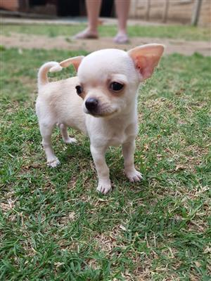 Beautifull Female Chihuahua puppy