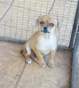 Miniature pinscher x chihauhau puppy