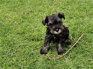 Most Adorable Miniature Schnauzer puppy