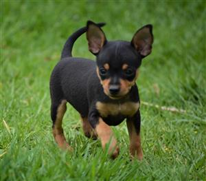 Miniature Doberman Pinscher (Bokkie) Puppies