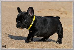 Beautiful KUSA Reg French Bulldog puppies available and ready to join their forever families!