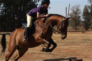 Thoroughbred x Quarter horse Mare for sale