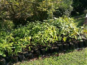 Avocado trees/seedlings (ungrafted)