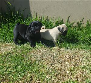 Pure bred pug puppies.
