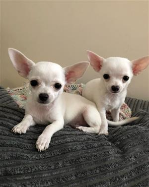Purebred Apple-Head Chihuahua Puppies