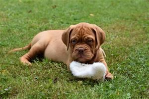 Kusa Registered Dogue de Bordeaux Puppies