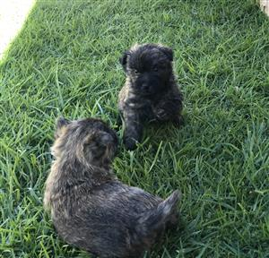Cairn Terrier Puppies for sale | Junk Mail