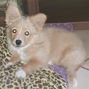 Chihuahua x pomeranium teefie
