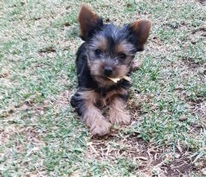 Miniature size Yorkie puppies ready