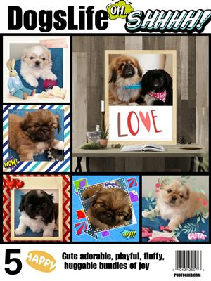Pekingese puppies for sale.