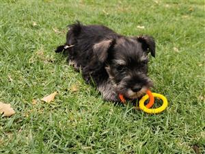 Registered Female Miniature Schnauzer puppy