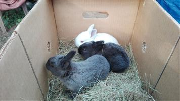 Large breed rabbits