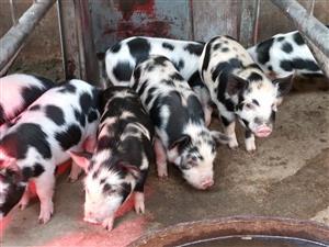 Kolbroek Pigs for sale