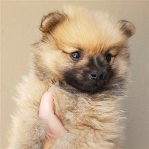 Toy Pom little pups