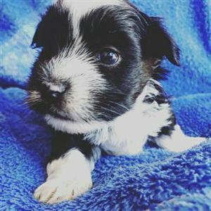 Gorgeous purebred yorkie puppies