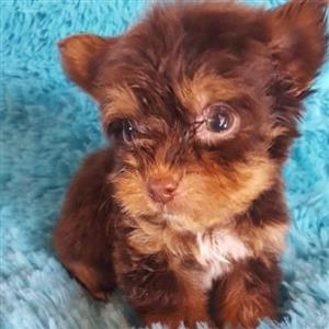 adorable yorkshire terrier puppies available