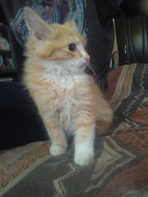 Maincoon kittens