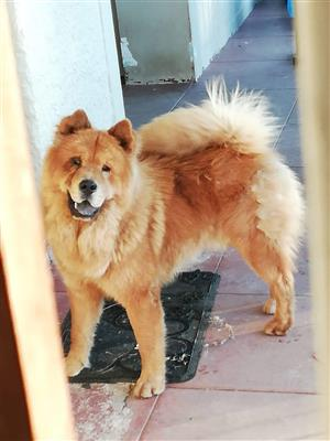 Male Chow Chow Junk Mail