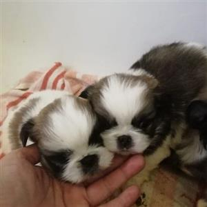 pekengise puppies