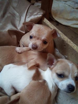 chiwawa puppies