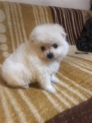 Toy Pom puppy for sale