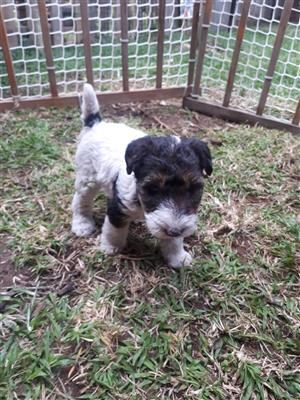Pure bred Wire haired fox terrier