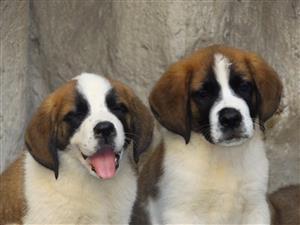 Microshiped Saint bernard puppies for sale