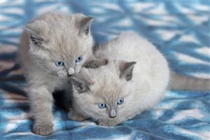 3x Tonkinese kittens for sale