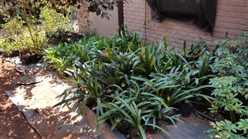 CLIVIAS, INCA LILLIES, ARIUM LILLIES ETC. 1000 plus. PLEASE CALL ERWIN 0829239259