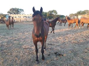 childrens show boerperd mare for sale