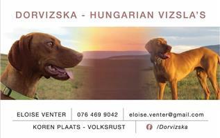 Hungarian Vizsla - Dorvizska