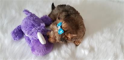 Pocket size sable Yorkshire terrier boy