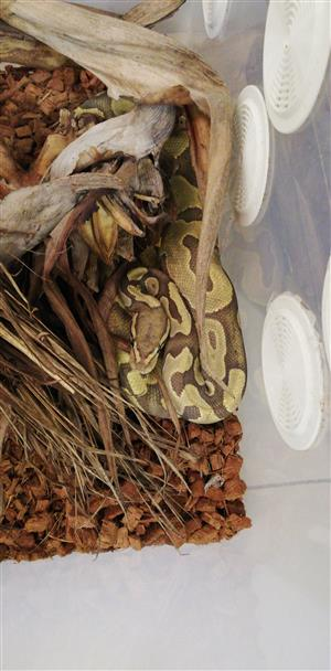 Female hypo enchi ball python and enclosure for sale