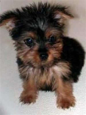 Black and Tan Female Yorkie Pup